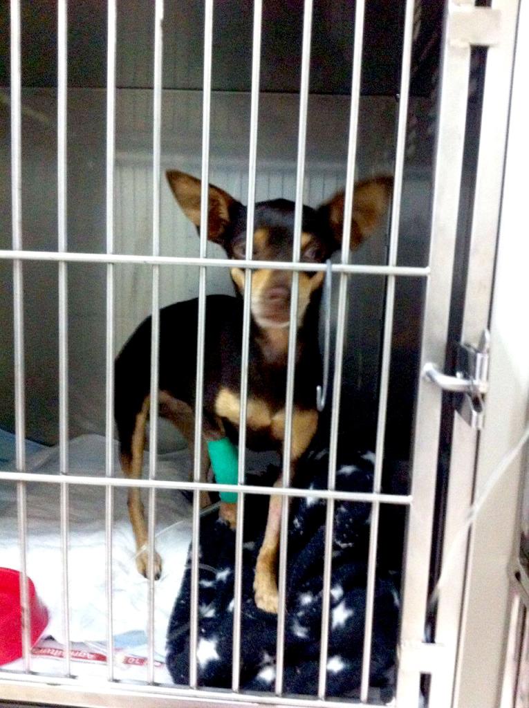 ajude a flind pinscher cachorro doação vakinha online blog got sin 02
